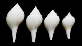 Pata de Valampuri ou grande concha do mar indiana do chank Foto de Stock