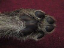 Pata del cachorro del guepardo foto de archivo