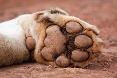 Pata del león Fotos de archivo