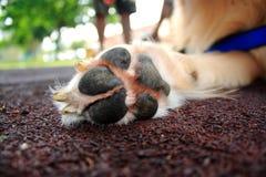 Pata del perro Foto de archivo