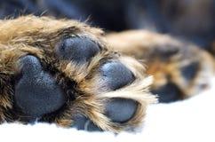 Pata del perro Imagen de archivo libre de regalías