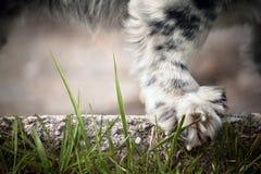 Pata del perro en la hierba Imágenes de archivo libres de regalías