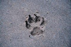 Pata do cão na praia Imagens de Stock Royalty Free