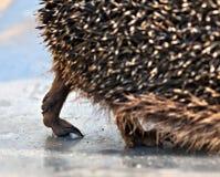 A pata do ouriço Imagem de Stock
