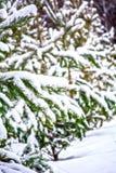 Pata Spruce Foto de Stock