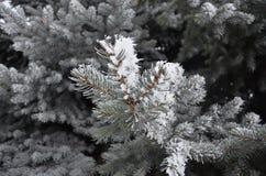 Pata spruce blanqueada Imagenes de archivo