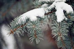 Pata Spruce con nieve Imagen de archivo