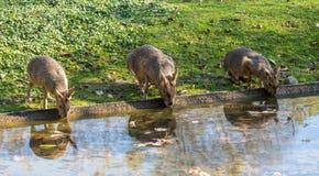 Patagón Mara, patagonum del Dolichotis es parientes grandes de conejillos de Indias foto de archivo