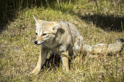 Patagón poco Fox gris imagen de archivo libre de regalías