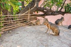 Patagônio mara senta-se na terra na exploração agrícola Fotos de Stock