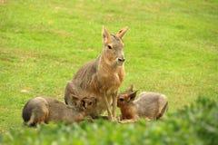 Patagone Mara che lo allatta al seno è cuccioli Fotografia Stock Libera da Diritti