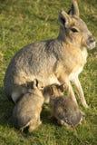 Patagone Mara con i suoi bambini Fotografie Stock Libere da Diritti