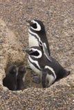 Patagonia Argentin de Punta Tombo de pingouins de Magellanic Photos stock