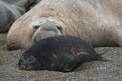 Patagonia Argentina do selo de elefante Fotografia de Stock Royalty Free