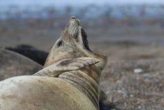 Patagonia Argentina do selo de elefante Imagem de Stock