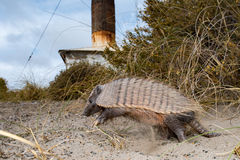 Patagonia armadillo close up portrait Royalty Free Stock Photography