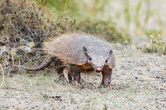 Patagonia armadillo close up portrait Royalty Free Stock Images