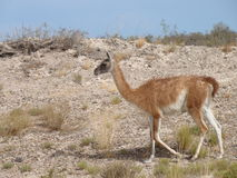 Patagonia camel, Guanaco. Argentinian Patagonia camel, guanaco on a hill at Peninsula Valdes Stock Photography