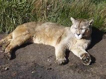 Patagonia de Puma Torres del Paine Chileno Fotos de Stock