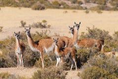 patagonia guanaco Стоковое Изображение