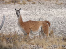 Patagonia Guanaco. Argentinian Patagonia camel, guanaco prepared to run if threatened Stock Photography