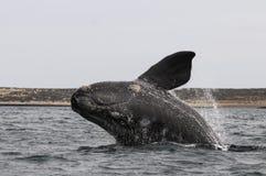 Patagonia la Argentina de la ballena imagenes de archivo