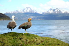Patagonia landscape. Scenic view of snow capped Andes mountains viewed over sea with two birds in foreground, Patagonia, South America Stock Photo