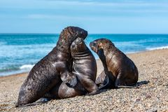 Sea lion on the beach in Patagonia while kissing. Patagonia male and female sea lion portrait seal on the beach Royalty Free Stock Image