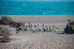Patagonia penguin close up portrait. Patagonia penguin group while walking on the beach Stock Images