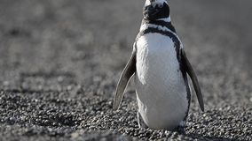 Patagonia penguin stock video footage