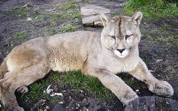 Patagonia Puma Torres Del Paine Chilean Lizenzfreie Stockbilder