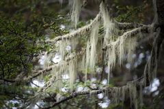 Patagonia`s trees covered with moss and lichen, Tierra del Fuego Royalty Free Stock Images
