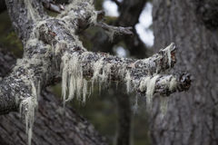 Patagonia`s trees covered with moss and lichen, Tierra del Fuego Royalty Free Stock Image