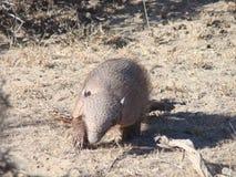 Patagoniabältdjur Royaltyfri Bild