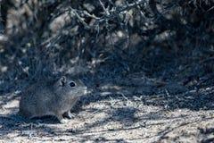 Patagoniacuis stänger sig upp ståenden Royaltyfria Foton