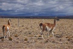 Patagonian άγρια φύση Στοκ Φωτογραφία