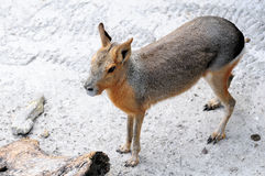 Patagonian Cavy Stock Photography