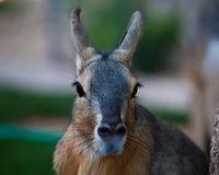 Patagonian Cavy Royalty Free Stock Photos