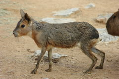 Patagonian Cavy Stock Images