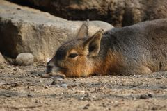Patagonian cavy Royalty Free Stock Images
