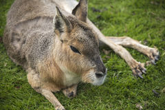 Patagonian cavy Stock Photos