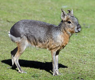 Patagonian cavy 1 Royalty Free Stock Photo