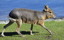 Patagonian cavy 2 Royalty Free Stock Images