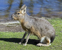 Patagonian cavy 4 Stock Photography