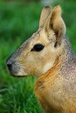 Patagonian Cavy Mara Royalty Free Stock Images