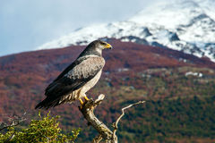 Patagonian classic: bird, tree, hill. Chile. Chile Royalty Free Stock Photo