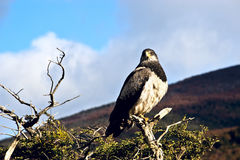 Patagonian classic: bird, tree, hill. Chile Stock Photography