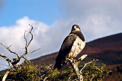 Patagonian classic: bird, tree, hill. Torres del Paine. Chile Royalty Free Stock Photo
