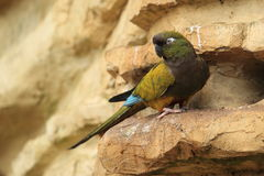 Patagonian conure Royalty Free Stock Images