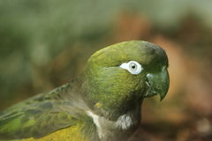 Patagonian conure Stock Images